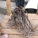 チベタヌスBの根(横から)