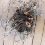 チベタヌスBの根(上から)