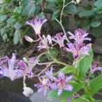 ホトトギス「紫錦」